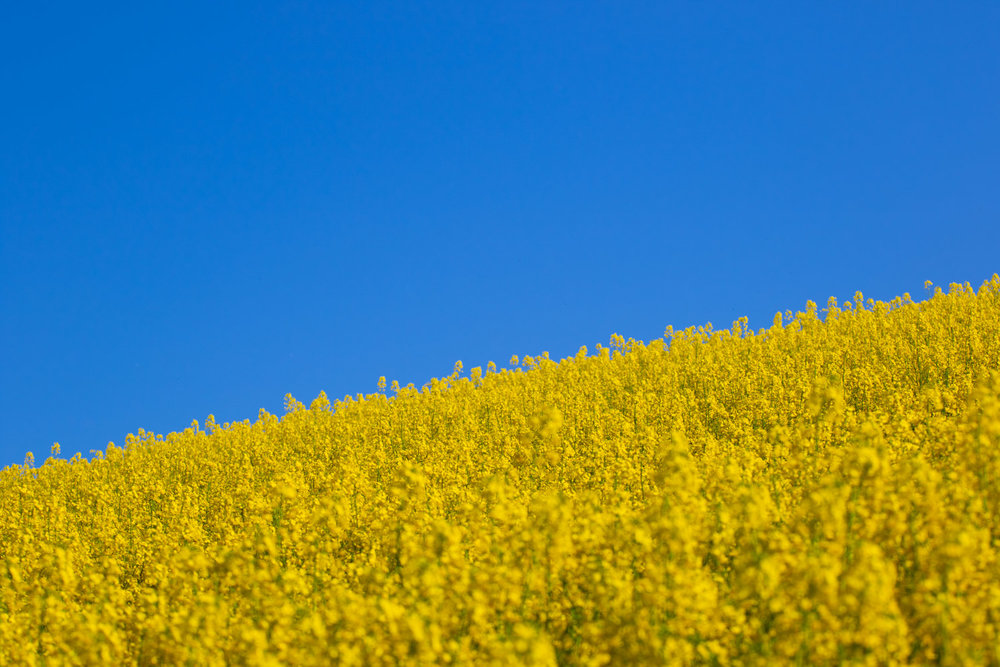 Rapeseed Field LR (1 of 3).jpg