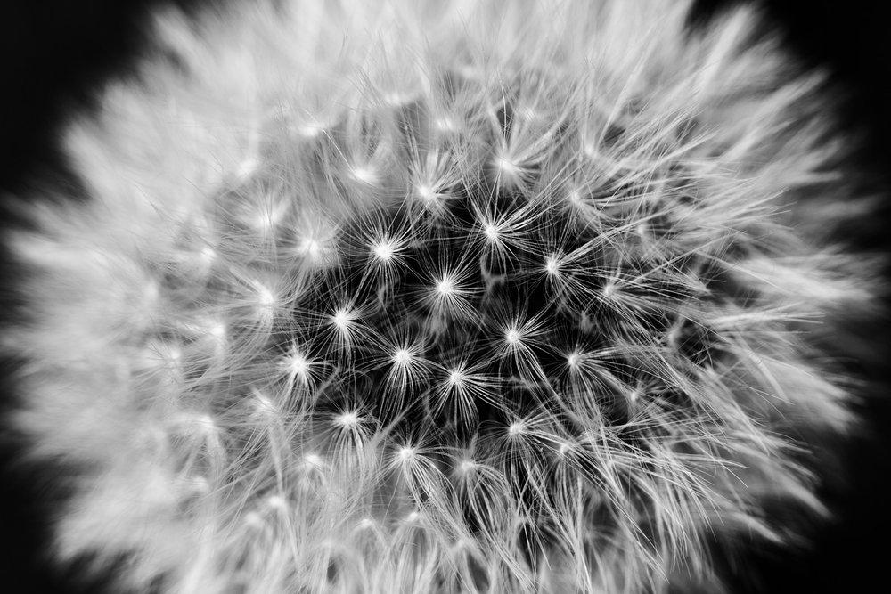 Dandelion LR.jpg