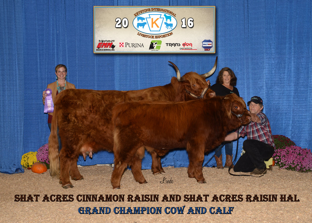 Shat Acres Cinnamon Raisin (shown here with her calf Shat Acres Raisin Hal) is the most winning Highland in the history of the breed. She has been shown at National Highland competitions for 12 years, and has won the Grand Champion Cow/Calf award over a dozen times, three times at the National Western Stock Show in Denver, CO.