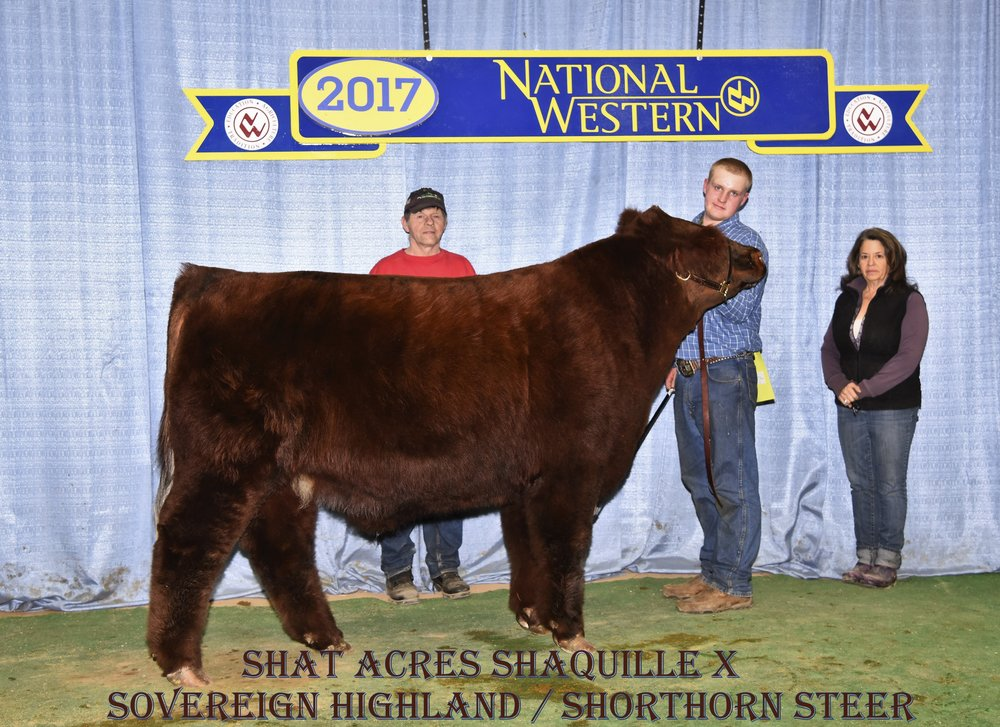 This picture of Shat Acres ShaquilleX is taken at the National Western Stock Show in Denver, CO. Shaquille is a Highland/Shorthorn Cross Steer and was Grand Champion Steer at the 2017 Northeast Highland Cattle Show in Springfield, MA.