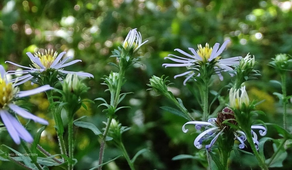 Crooked-stem Aster (Symphyotrichum prenanthoides), a species whose Canadian range was extended during BioBlitz Canada 150. Photo: Will Van Hemessen