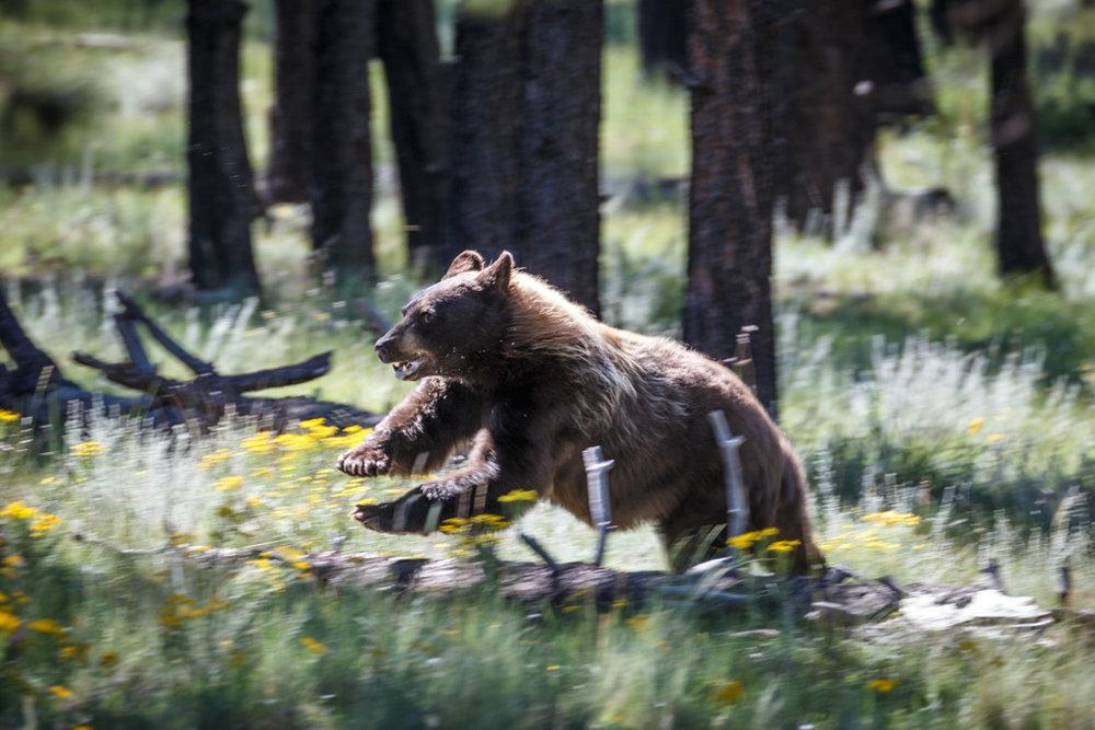 bear_Vermejo.jpg