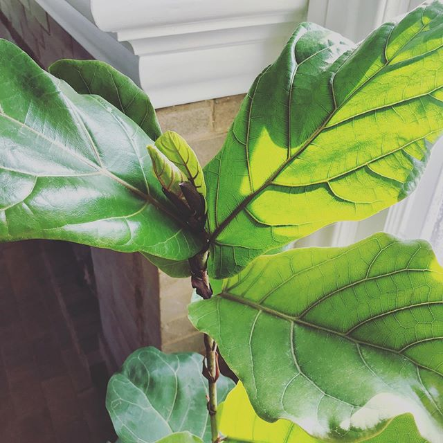 i got this fiddle leaf a year ago, assuming it would die in a month but for $19, it was worth it. to say i've cared for this thing is pretty much a lie. i occasionally remember to water it & i've never even taken it out of the growers pot it came in & yet it has somehow thrived. just yesterday TWO new leafs sprouted out. so what this has taught me is that laziness is always the answer. . . . #plantlady #fiddleleaffig #indoorplants #houseplants #lazyplantmom