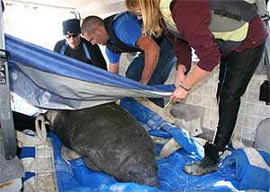FWC biologists cover a manatee with a thermal blanket to protect it from the cold after it is rescued Dec. 15.