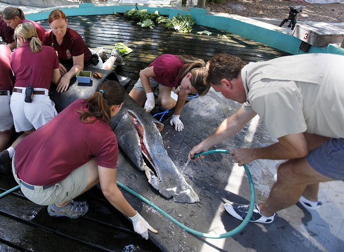 The manatee's large gray body was left bloody and split open in the back. A chunk of tail was gone. Source:  Lara Cerri | Times