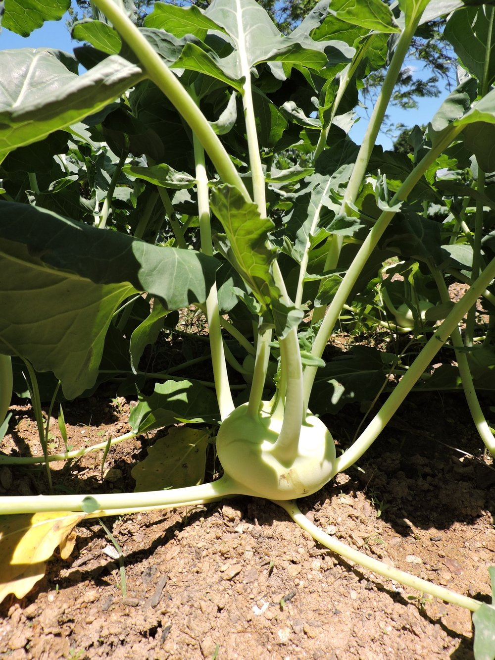 A kohlrabi in the ground