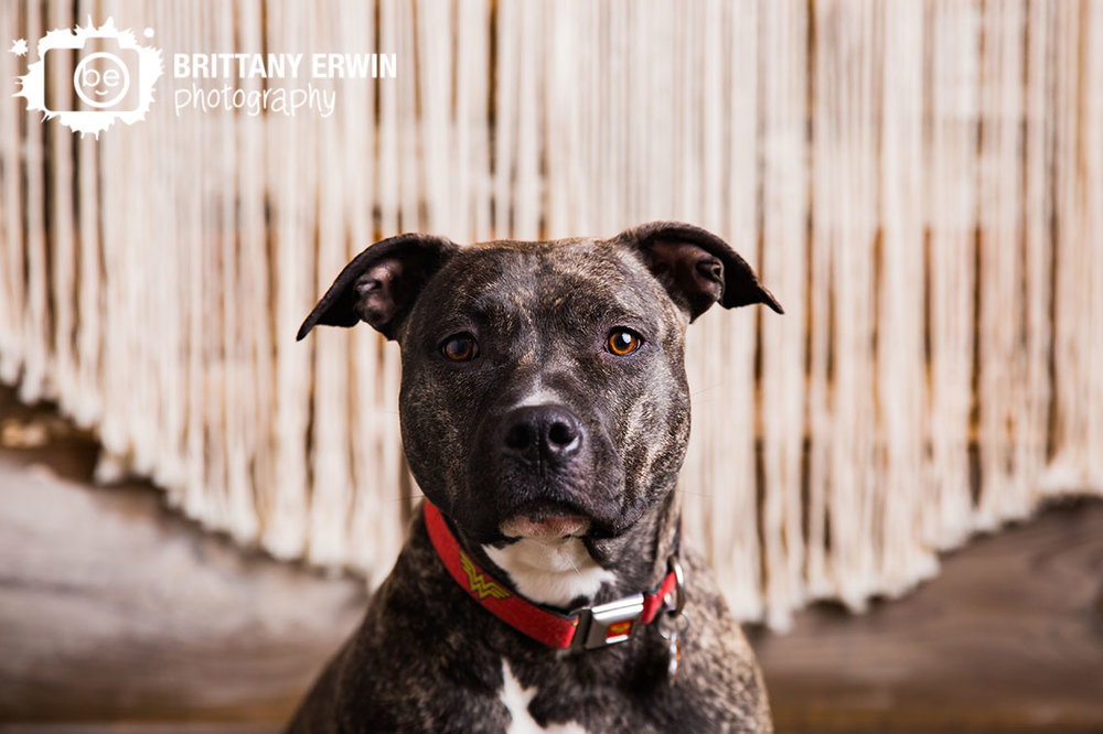 Indianapolis-pitbull-boxer-pet-photographer-portrait-studio.jpg