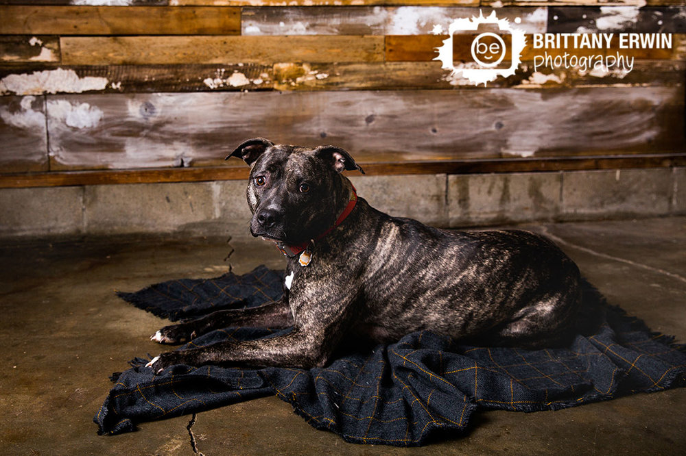 Indianapolis-pet-pitbull-photographer-box-mix-breed-blanket-with-barn-wood.jpg