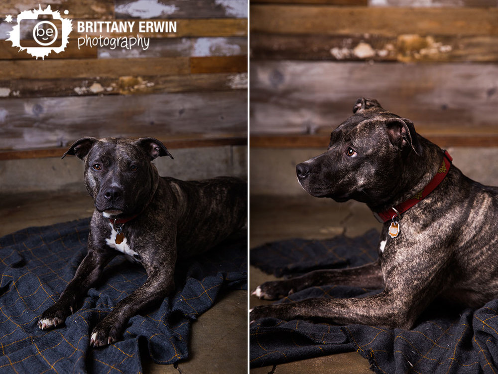 Indianapolis-studio-portrait-pet-photographer-pitbull-boxer-mix-rescue-blanket-barn-wood.jpg