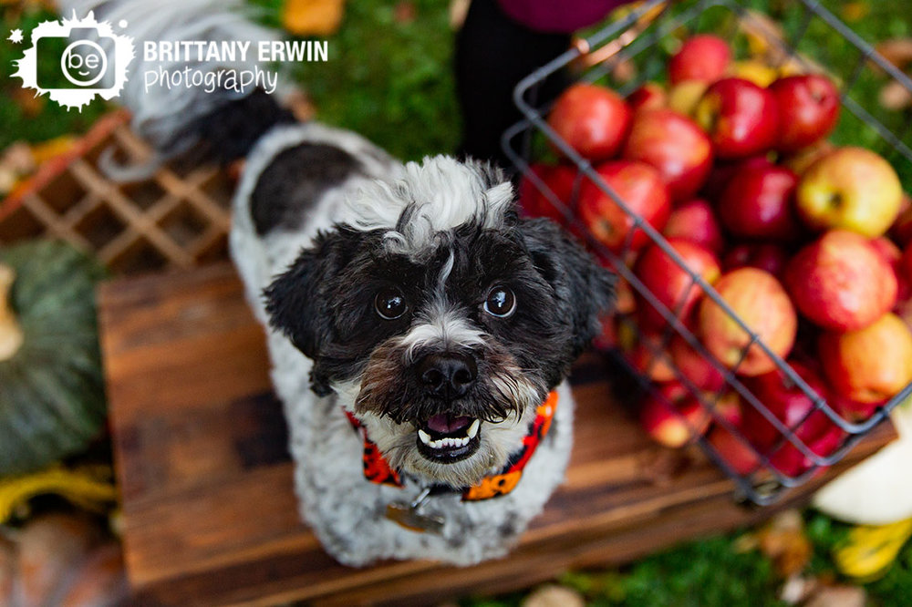 Indianapolis-fall-portrait-photographer-pet-dog-black-and-white-on-chest-with-apples-and-pumpkins.jpg