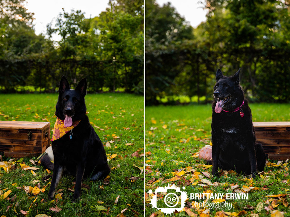 Indianapolis-fall-portrait-photographer-pet-dogs-german-shepherd.jpg