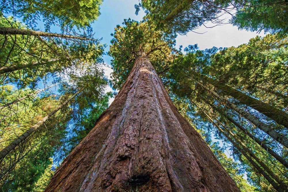 Sequoia growing.jpg