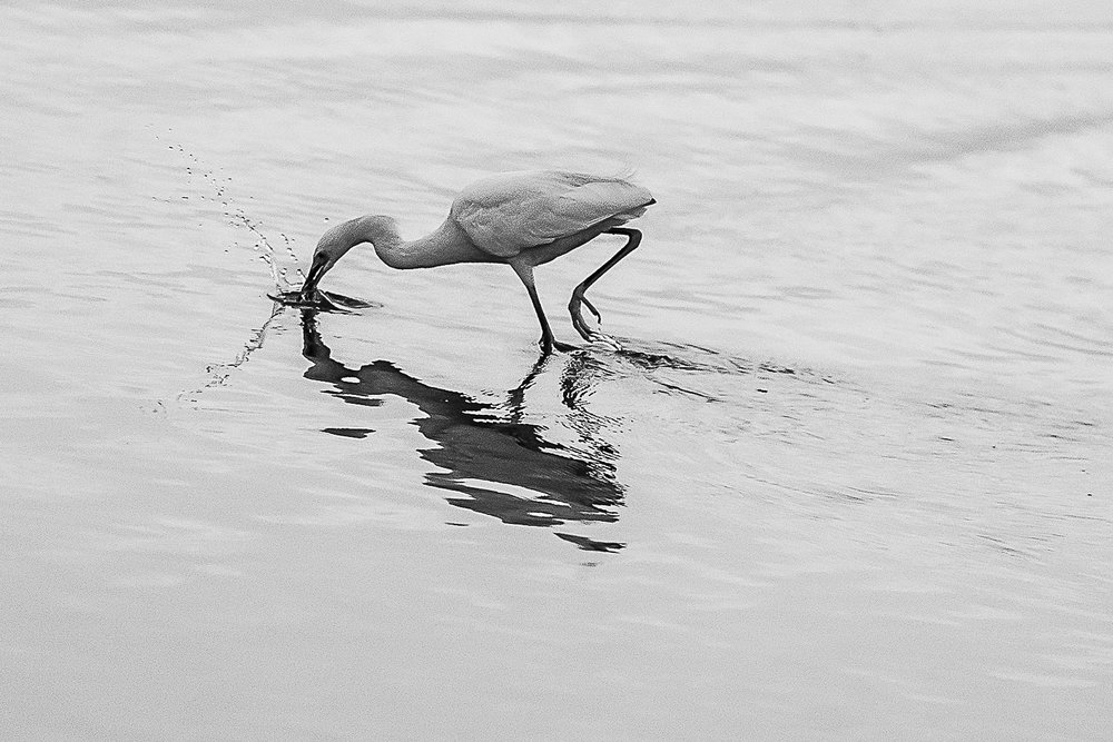 _8_27_18_ heron (web)-2.jpg