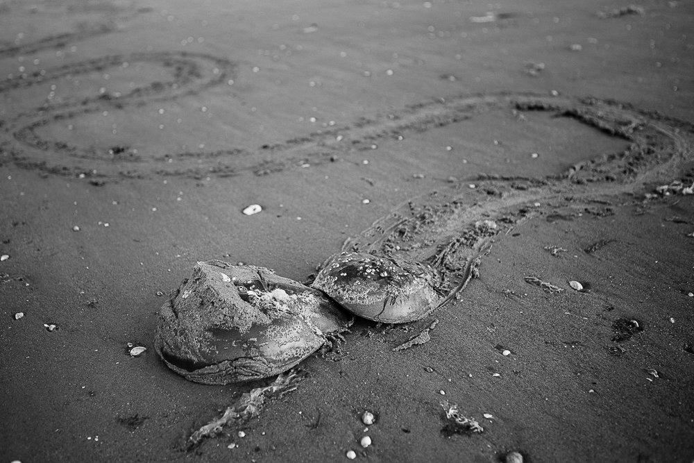6_29_18 horshoe crab (web)-2-2.jpg