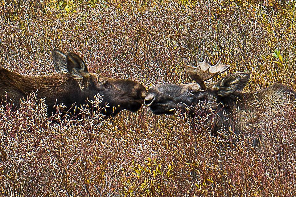 9_23_18 Moose (web)-5072.jpg