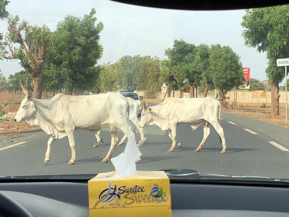 Street 17 Cows right of way.jpg
