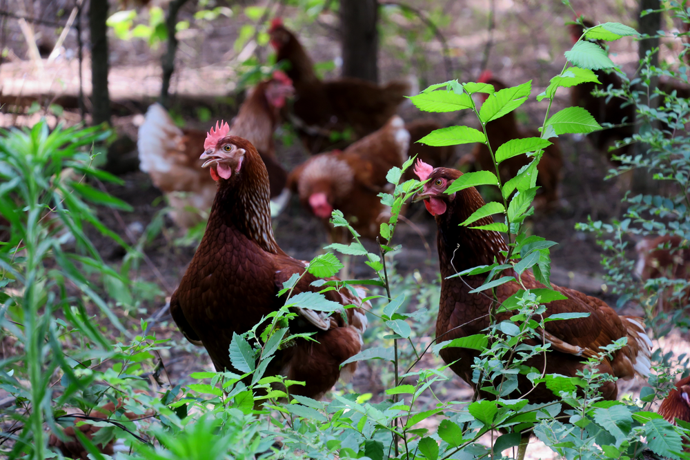 hens-closeup.png