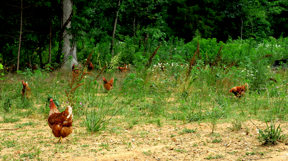 hens-in-pasture.png