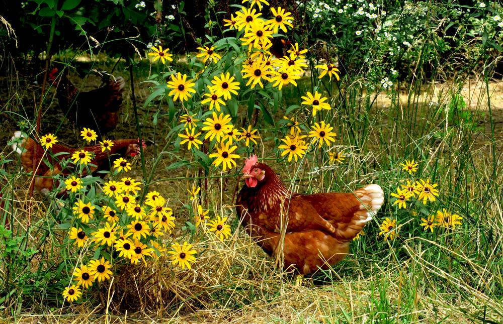hen-wildflowers.png