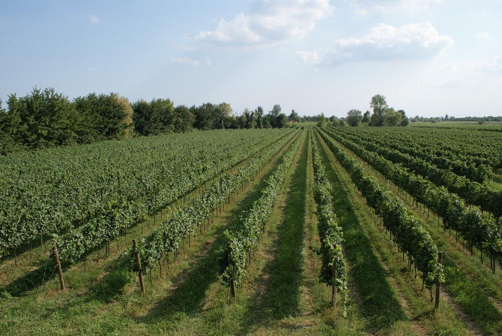 MUSARAGNO TERRA M vineyard photo 1.JPG