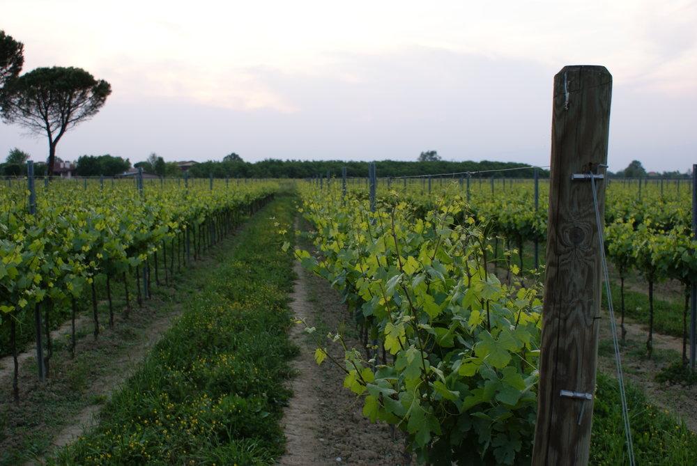 MUSARAGNO TERRA M vineyard photo 4.JPG