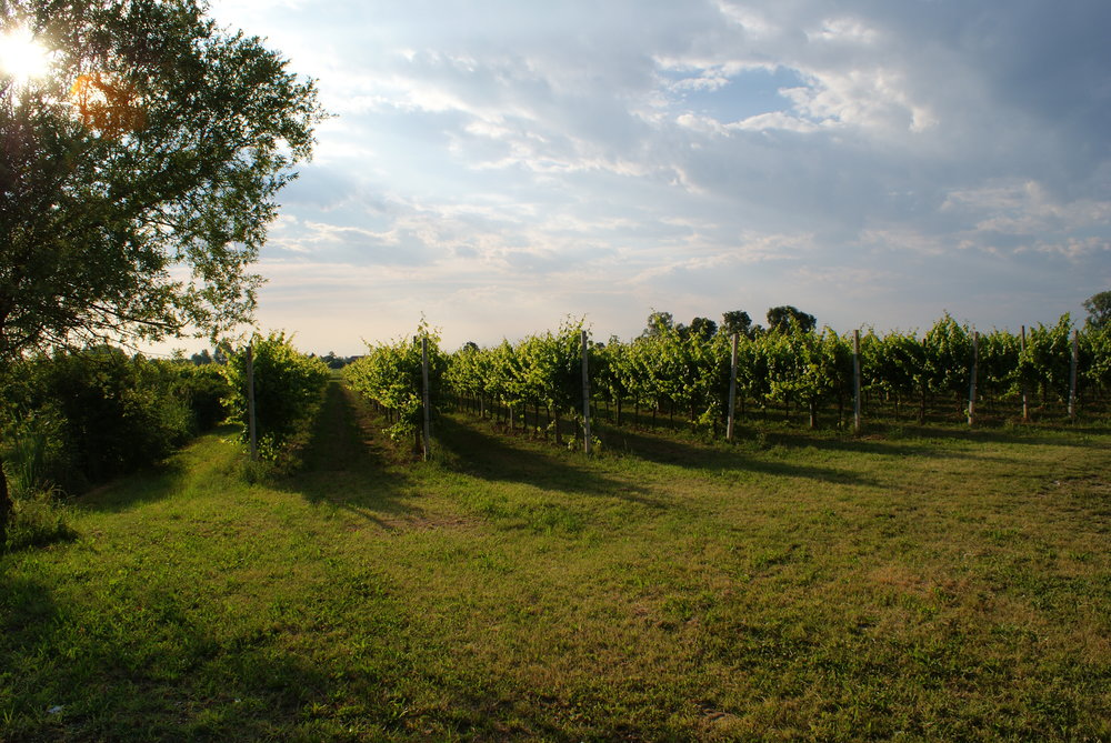 MUSARAGNO TERRA M vineyard photo 2.JPG