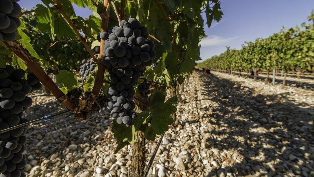 VEGA CLARA grape photo.jpg