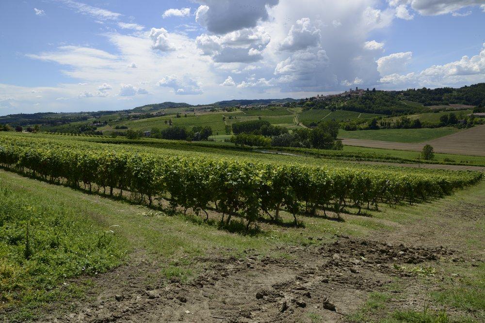 CASTELLO DI UVIGLIE viney photo 1.jpg