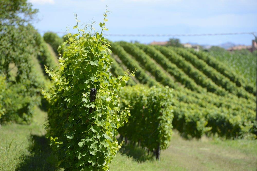 CASTELLO DI UVIGLIE viney photo.jpg