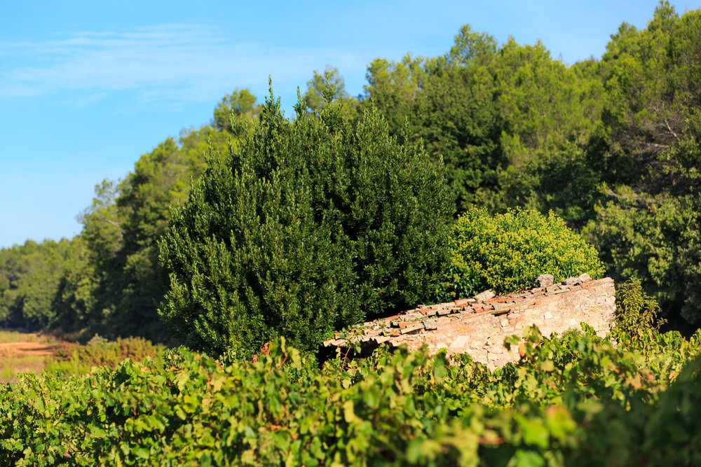 Chateau de brigue vineyard photo 3.jpg