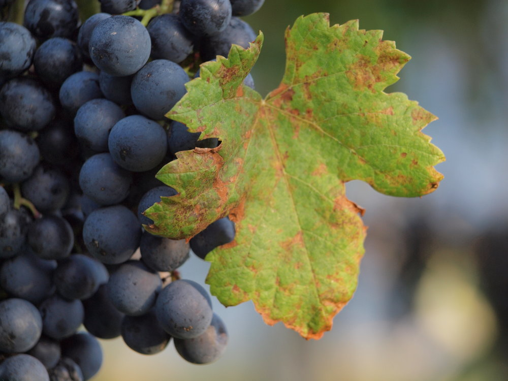 DELEA GRAPES PHOTO.JPG