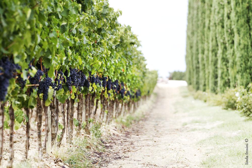Colsanto vineyard photo.jpg