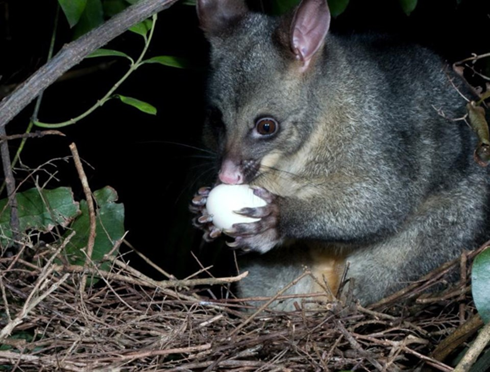 Foe - New Zealand Possum eating kererū egg.  Photo credit: Dept of Conservation.