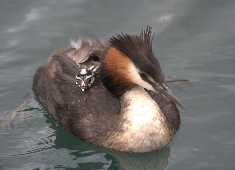 The Australasian crested grebe is native to NZ and a nationally threatened species. Lake Hayes has the highest density of breeding Crested Grebes in New Zealand and provides an important habitat for this and other native bird and wildlife. Photo credit:   John Darby