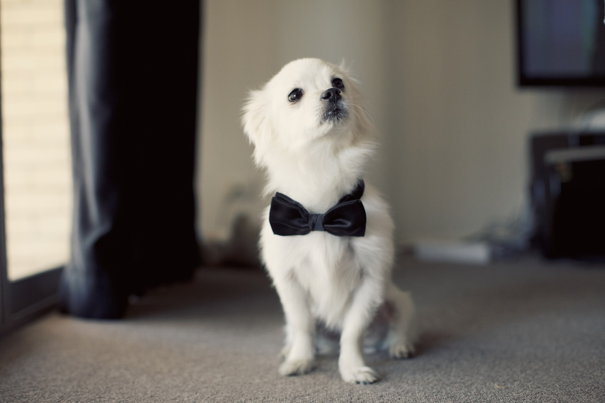Puppy in a Bow Tie at Wedding