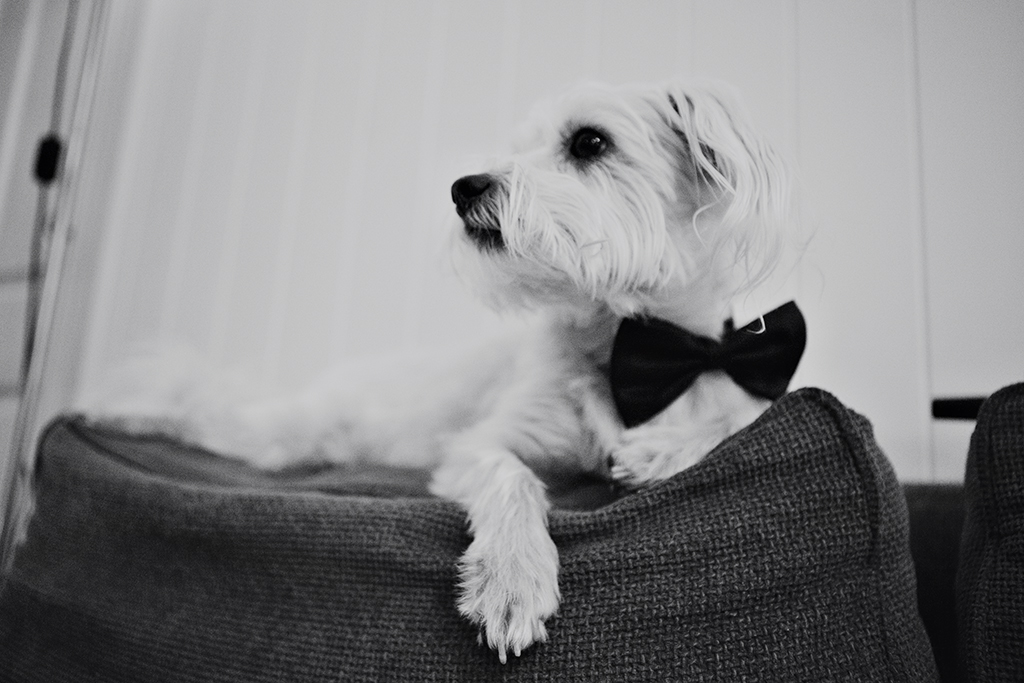 Puppy wearing a bow tie at a wedding