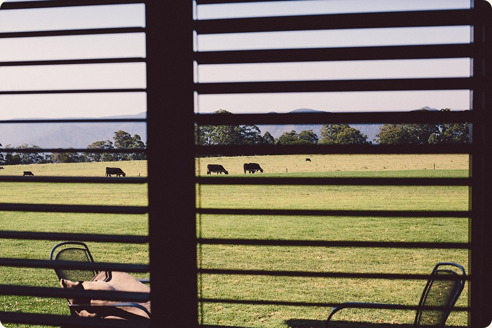 Cows at Spicers Peak Lodge