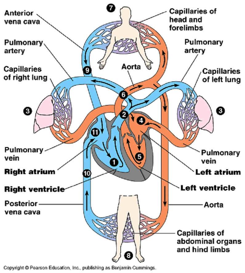 DWA 5 circulatory system.jpg