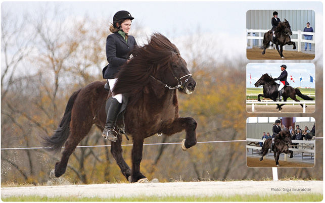 Hjörtur Frá Hóltsmúla 1 - Hjörtur has the honor of having the highest rideability score (8,82)  in the united states including 9s for both trot and tolt. He received 9,5 for spirit, a testament to his willing character.