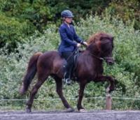 An Icelandic Horse in Slow Tölt