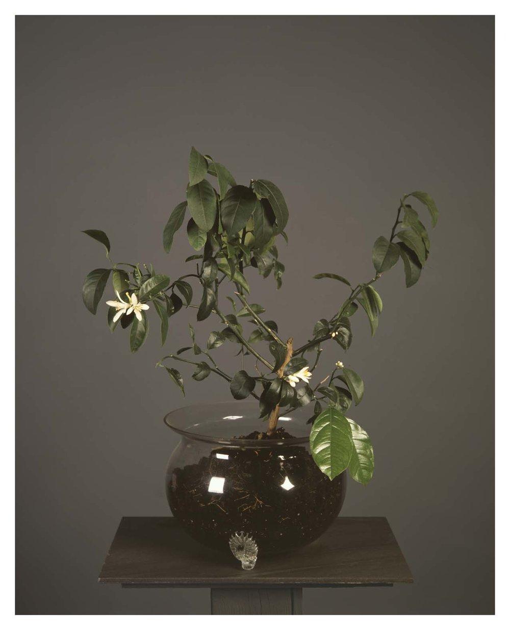 LEMON TREE FLOWERS 810TEMPO.jpg