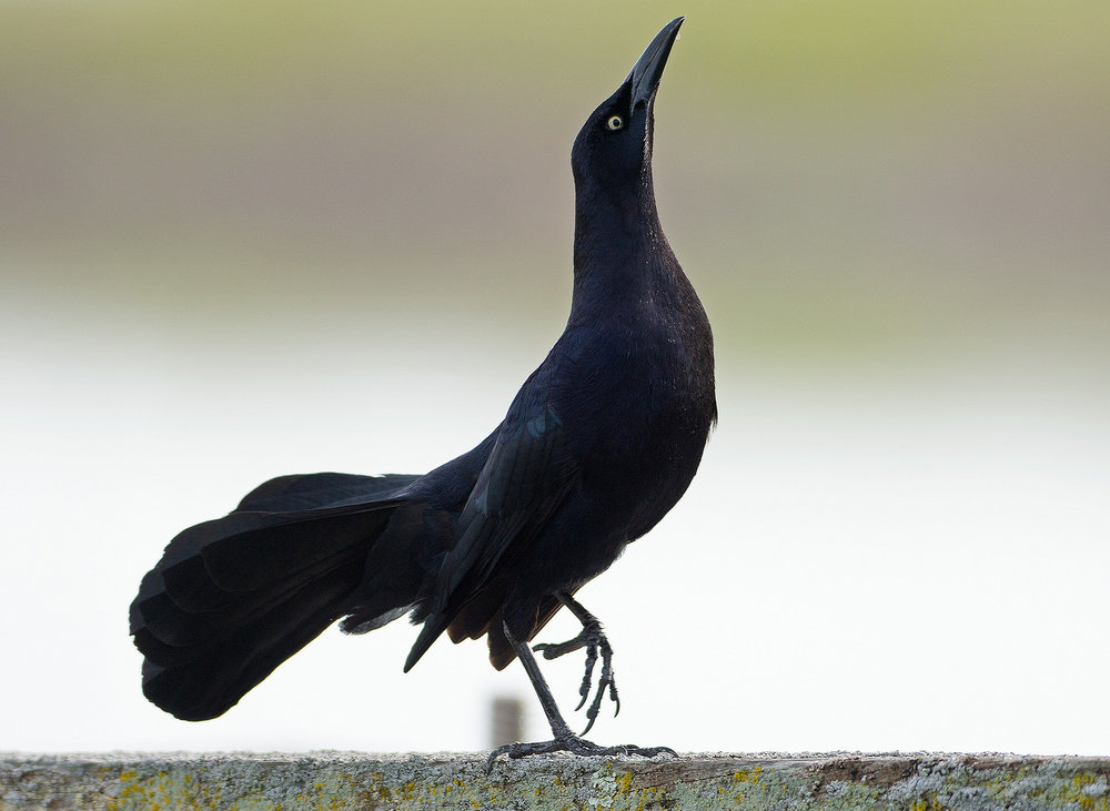 - This great-tailed grackle is one of many species that performs a wide array of gestural displays to communicate with rivals and potential mates alike.