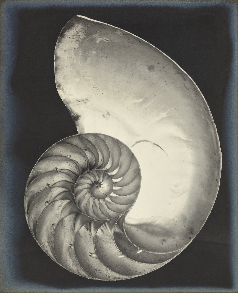 Edward Weston,  Nautilus Shell , 1927