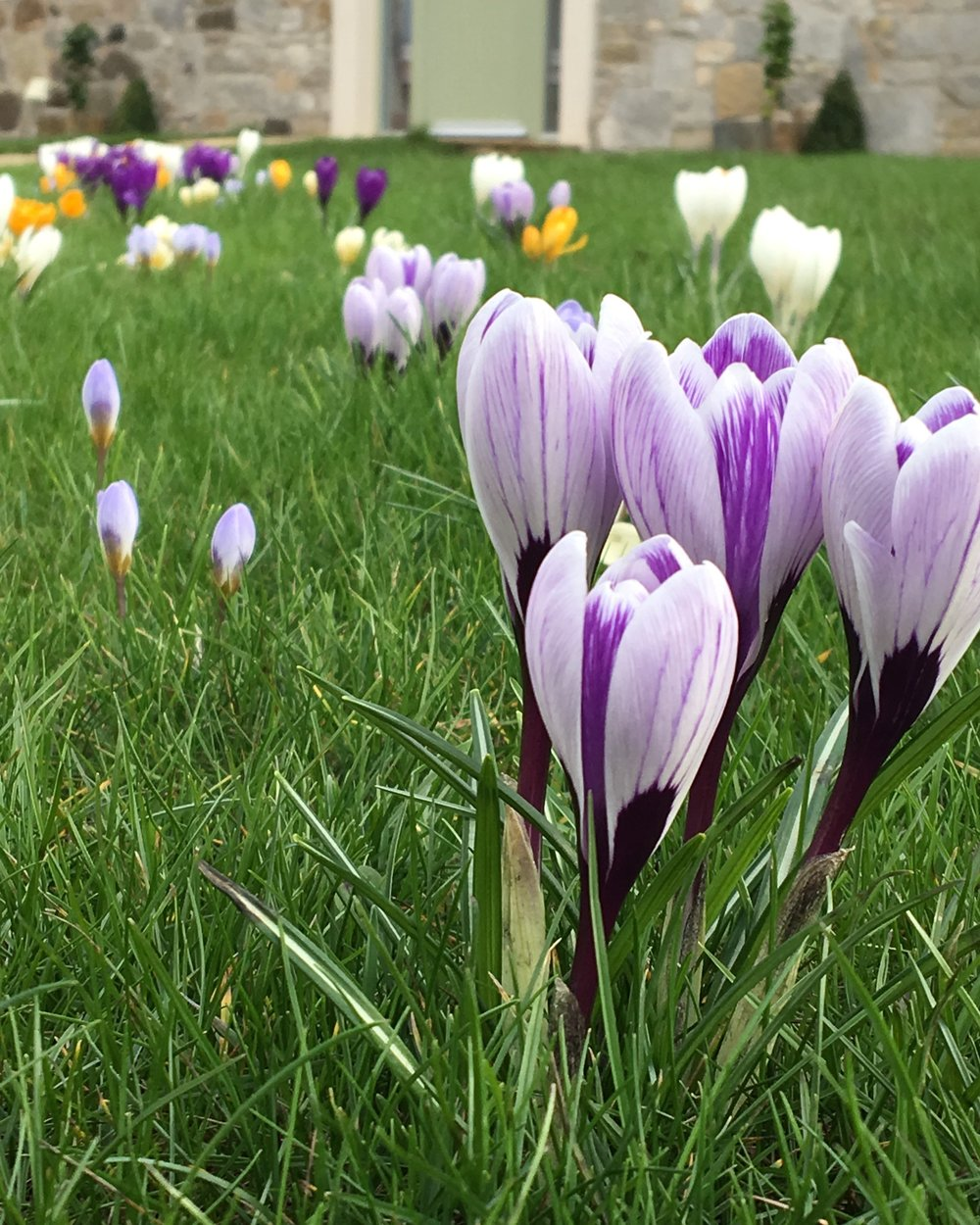 Crocuses opening up to the early March sunshine.