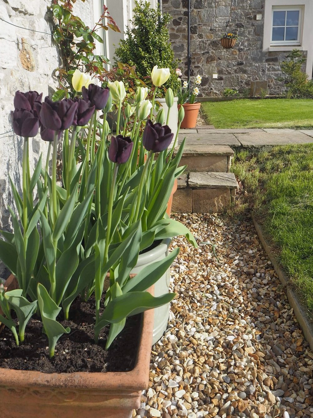 The tulips and narcissus by the front door.