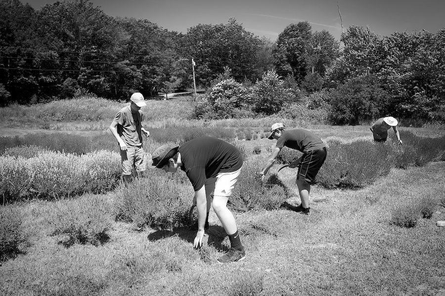 Picking the lavenderb&w 3.jpg