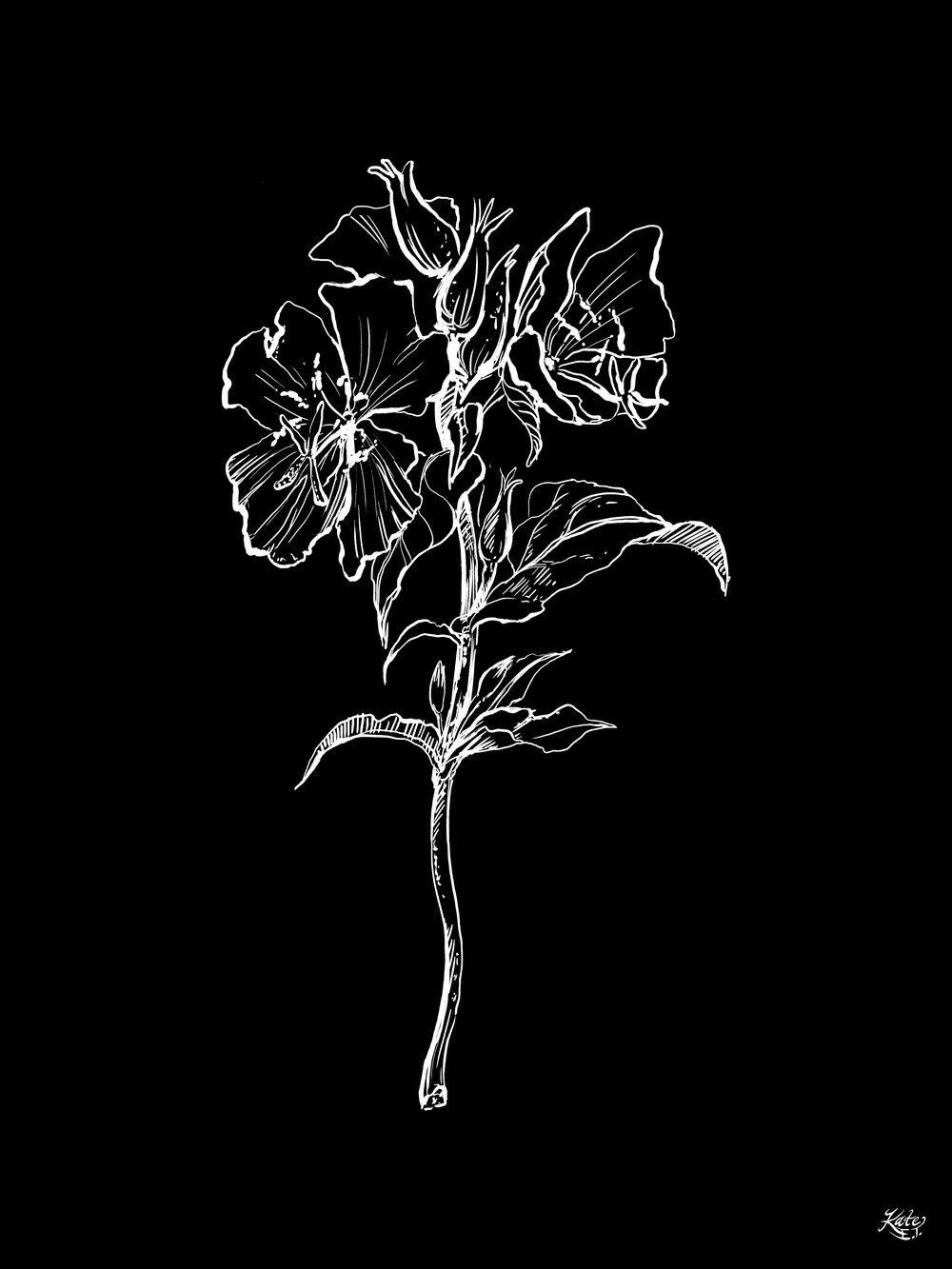 Black Primrose