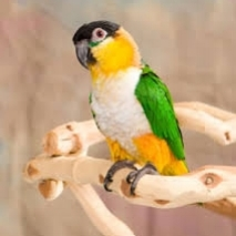 Black Capped Caique