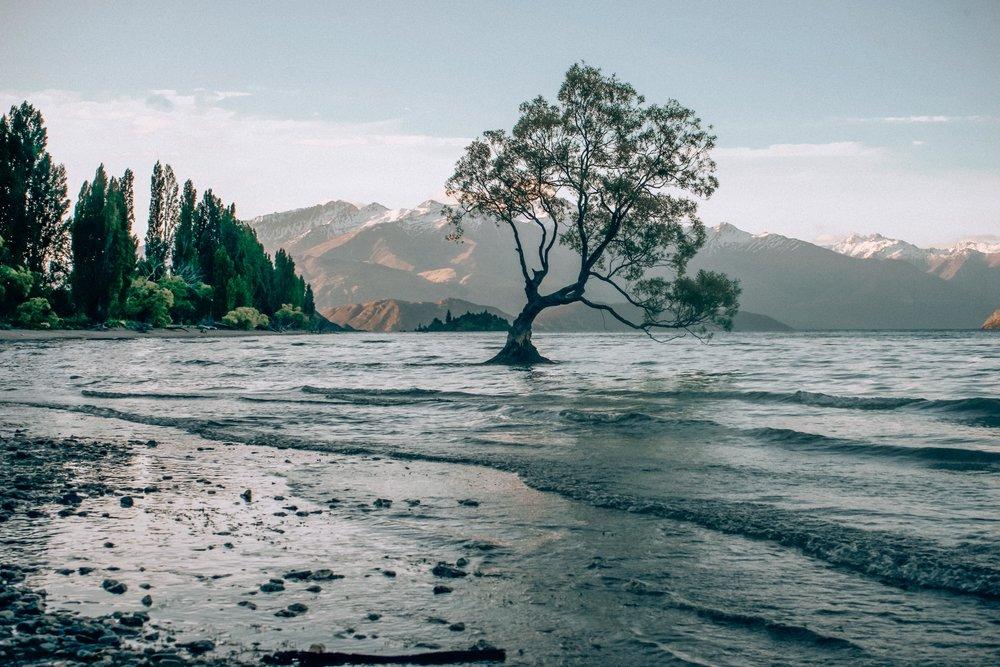 'That Wanaka Tree'