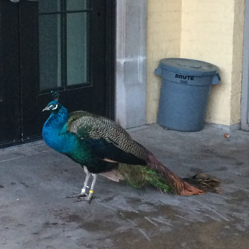 The one where we go to Brookfield Zoo and see a peacock blocking the door we wanted to go in.